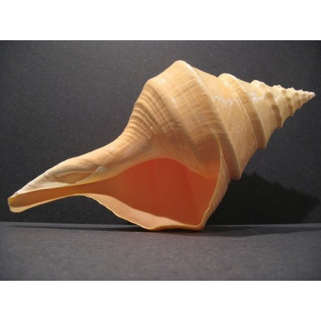 Caracola Syrinx Aruanus