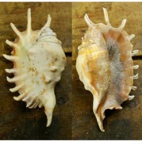 Caracola de mar Lambis millepeda