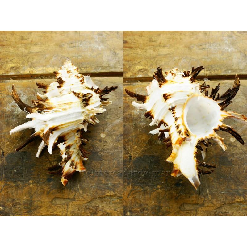 Caracola marina Murex Endivia