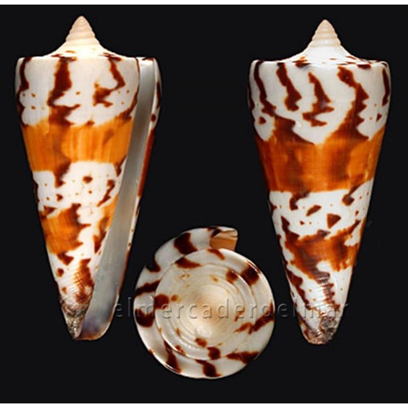 Caracola Conus Generalis
