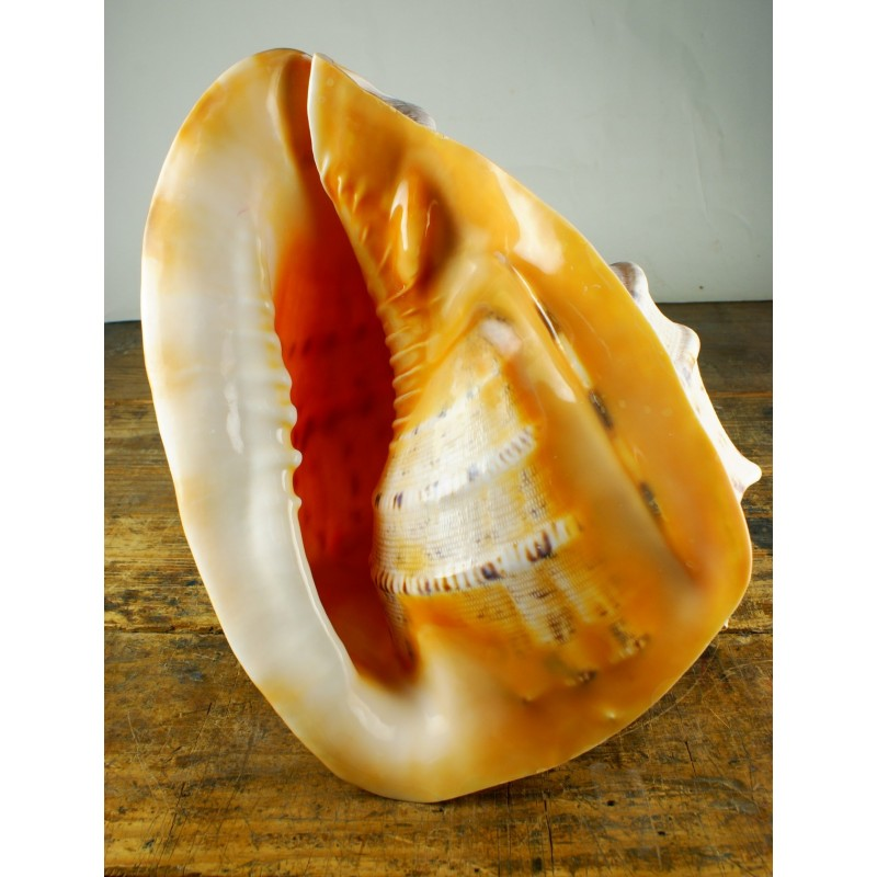 Caracola de mar casco cornuta