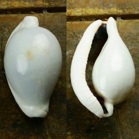 caracola del mar Cyprea Ovula Ovum